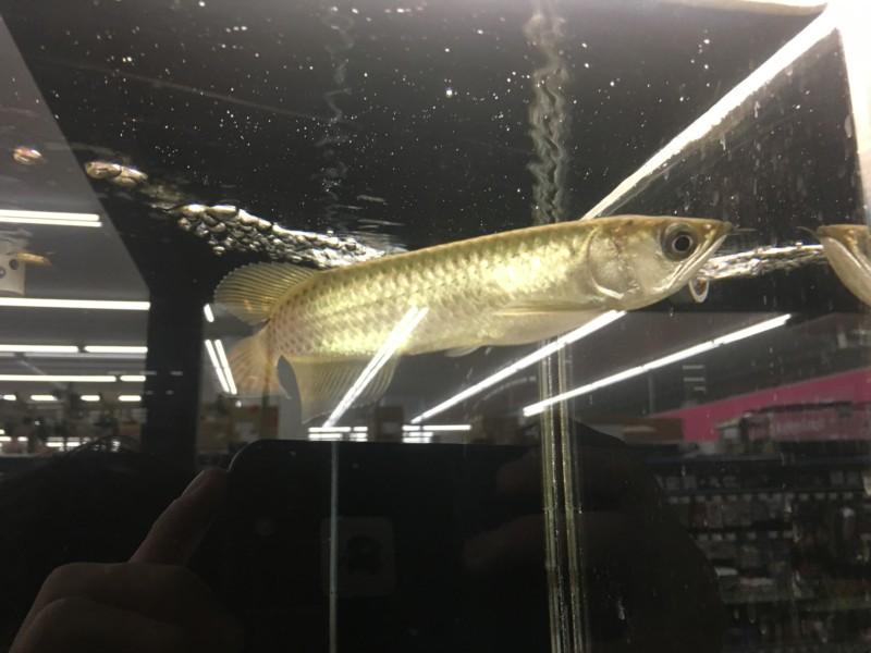 熱帯魚ストアで販売されているアロワナの幼魚の様子