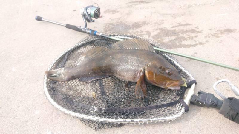 ウォーターメロンバグで釣ったアイナメ