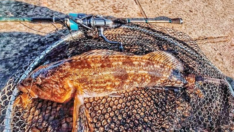 ボトムバーサタイルで釣ったアイナメ