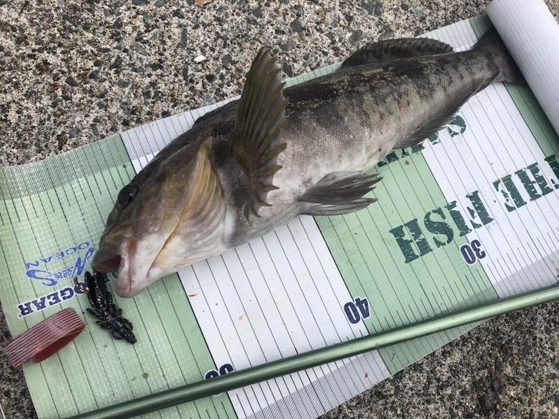 ソリッドカラーで釣ったアイナメ