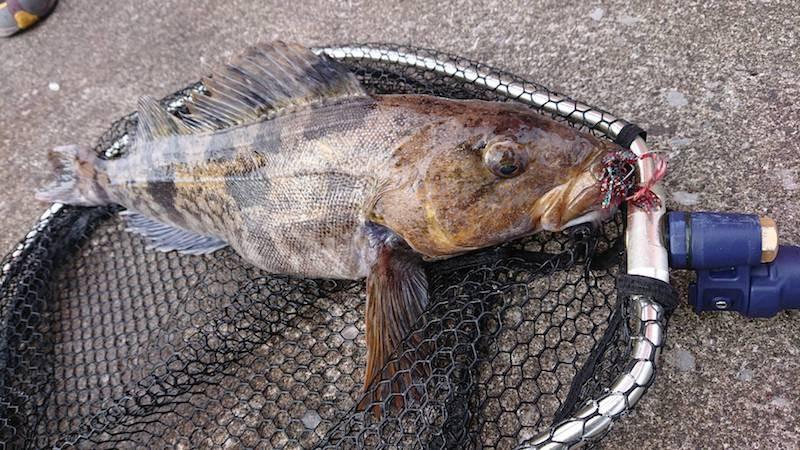 北陸レッドプラムで釣ったアイナメ