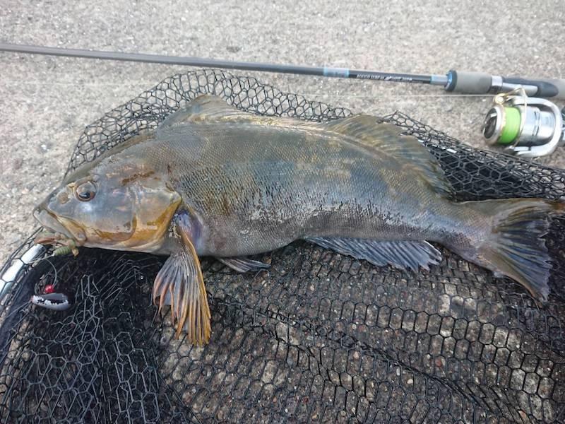 タフタイムカモで釣ったアイナメ
