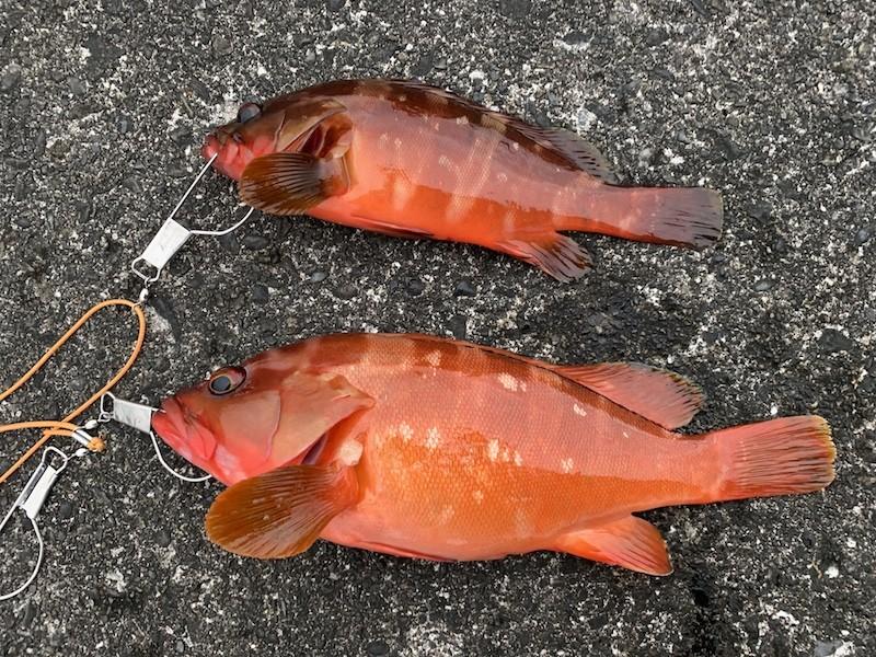 式根島で釣り上げたアカハタ2匹