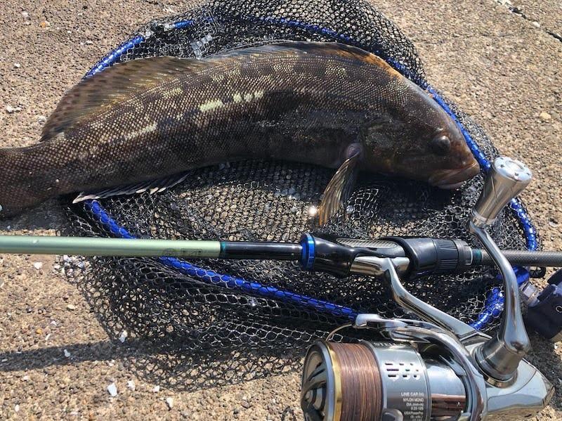 ステラとゴメクサスノブで釣ったアイナメ