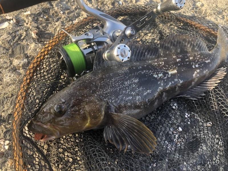 ストラディックとカーボンハンドルで釣ったアイナメ
