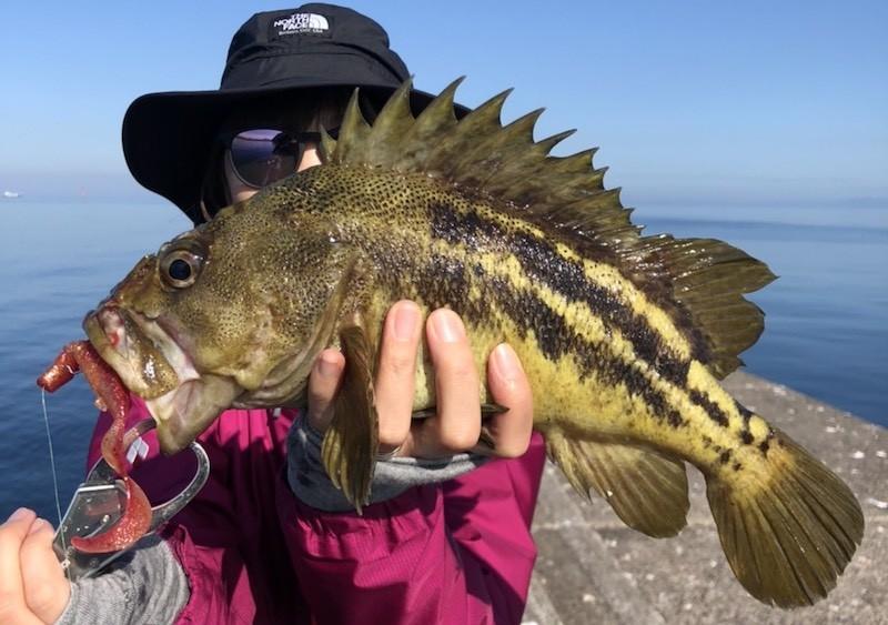 室蘭沖堤防で釣れたシマゾイ