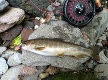 山岳渓流のイワナをフライフィッシングで釣るコツ~季節別ポイント選びとフライセレクト