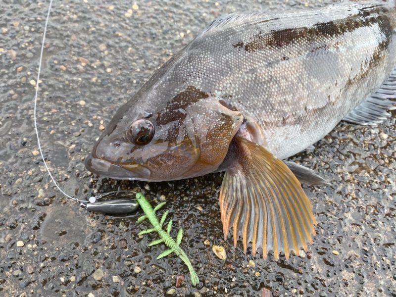 シザーコームのフリーリグで釣ったアイナメ