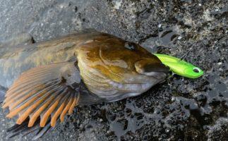 アイナメをハードルアーで釣る!その魅力と釣り方をエキスパートに学ぶ