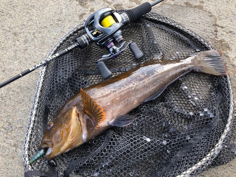 B610ULで釣った産卵期のアイナメ