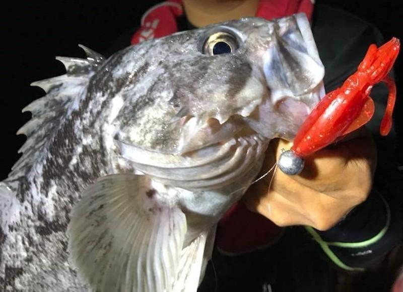 プニイカで釣ったクロソイをブツ持ちする鷲谷さん