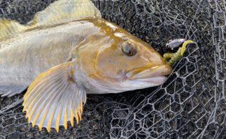 北海道はロックフィッシュのパラダイス!人気ターゲットの釣り方と基礎知識