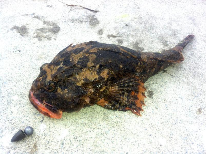 テキサスリグで釣れたケムシカジカ