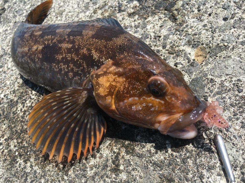 フリーリグで釣り上げたアイナメ